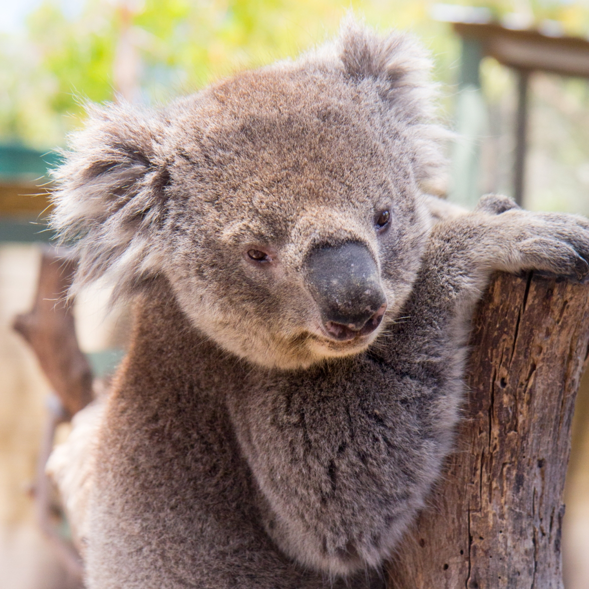 Koala at Moonlit Sanctuary © Katharina Sunk