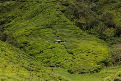 cameron-highlands-11