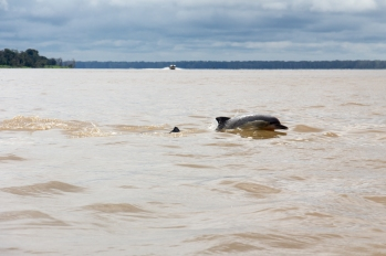 Dolphin in the Amazon