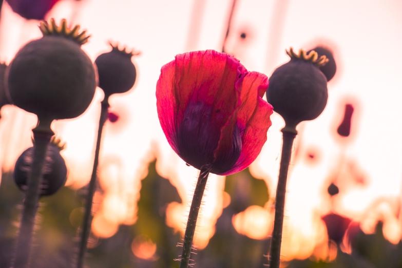 Mohnblüte Waldviertel © Katharina Sunk