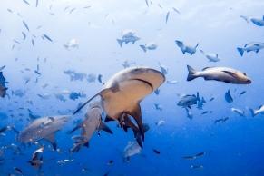 Shark dive at Barefoot Kuata © Katharina Sunk